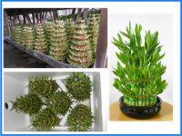 Lucky Bamboo, Dracaena Sanderiana