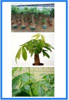 Pachira Macrocarpa, Money Trees
