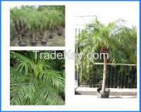 Phoenix Roebelenii, Roebelenii, Pygmy Date Palm, Miniature Date Palm