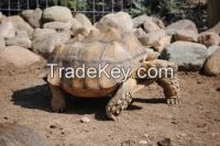 Marginated, Aldabra and Sulcata Tortoises