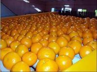 Seedless Navel Oranges