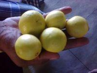 Sweet Navel Oranges