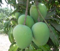 Kesar Mangoes.