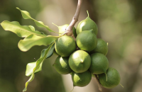 Raw and Roasted Macadamia Nuts