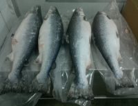 Frozen Atlantic Salmon H/O Gutted | Norwegian Salmon Head/On Gutted