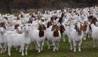 Live Boer Goats, Live Sheep, Cattle, Lambs