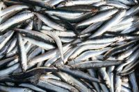 Fresh / Frozen Salted Anchovy Fish