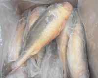 W/R Frozen Yellow Croaker Fish