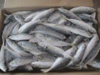 FROZEN / FRESH ROUND SCAD FISH