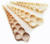 Cut Sea shell slices