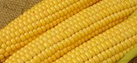 white maize and yellow sweetcorn