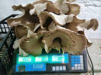 Moravska Bukovaca (Oyster Mushroom)