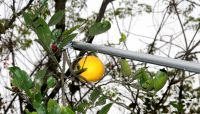 aluminum handlel telescopic high tree branches pole pruner