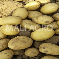 Indian Fresh Potatoes