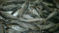 Atlantic Horse Mackerel Fish ,North Sea Herring Fish ,Silversmelt Fish