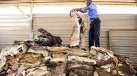 Dry Salted Donkey Hides For Sale