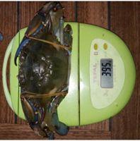 Blue Crab ( Callinectes sapidus ) DELICIOUS...