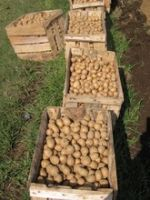 Fresh Potatoes, Sweet Potato For Sale..