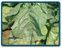 unmanufactured tobacco leaves, tobacco,  beedi tobacco, chewing tobacco