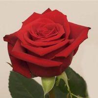 Buy Wholesale Garden Roses