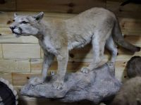 Varieties of Taxidermy mounts Available for sale