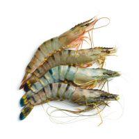 Live lobsters & Shrimps