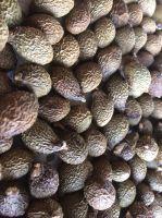 Viet Nam Malva nut for Health/ Skin Beauty Very Cheap (WhatsApp/ Wechat/ Skype +84 1676540581)