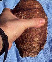 Malanga, yucca(casava)