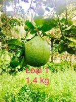 Organic & Fresh Green Skin Pomelo