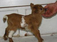 nigerian dwarf goat for