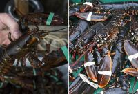 Giant Boston Lobsters