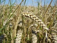 Wheat all grades and kind including milling wheat