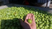 Green Olives from Halkidiki