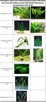 Aponogeton plants