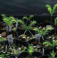 Encephalartos seedlings and Araucaria seedlings