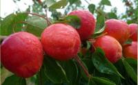 Apricot by Les Fruit De Carthage