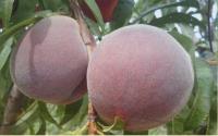 Peach by Les Fruit de Carthage Tunisia
