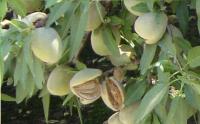 Almonds by Les Fruit de Carthage