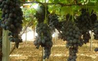 Table Grapes by Les Fruits De Carthage