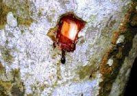 Croton draco - Sangre de grado