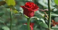 Fresh cut Red rose