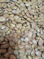 Best quality ginkgo biloba linn with shell