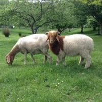 Healthy Live Awassi sheep / Merino sheep / Dorper Ewe Sheeps and Lambs For Sale