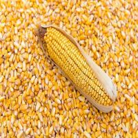 YELLOW CORN(MAIZE)WHITE CORN(MAIZE) FOR HUMAN AND ANIMAL FEEDS
