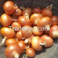 Golden onion, fresh onion, big onion