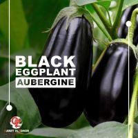 Egyptian eggplant