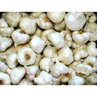 Wholesale Fresh White Garlic