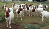 100% High Quality Livestock Full Blood Boer Goats for sale 2018