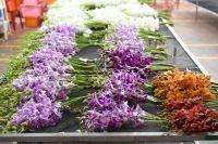 Thailand Cut Orchids