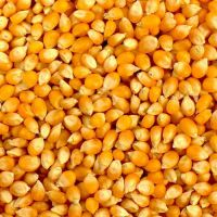 cheap Yellow Corn & White Corn Maize for Human & Animal Feed